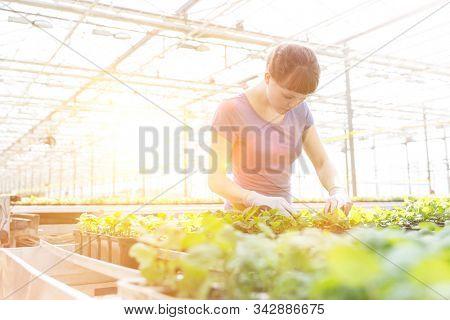Mid adult female botanist examining herb seedlings in plant nursery