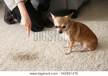 Owner Scolding Her Dog For Wet Spot On Carpet