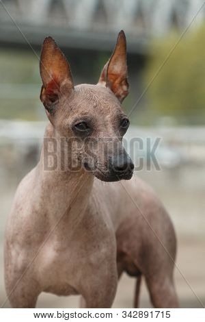 Portrait Of A Dog Breed Peruvian Hairless Dog (inca Peruvian Orchid, Inca Hairless Dog, Virigo, Cala