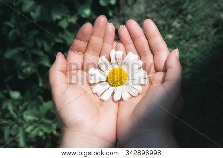 Big White Daisy Held In Woman Hands Over Aqua Mint Grass Background, In Sunlight. Protecting Flower.