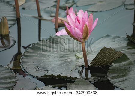 Nelumbo Nucifera, Also Known As Indian Lotus, Sacred Lotus, Bean Of India, Egyptian Bean Or Simply L