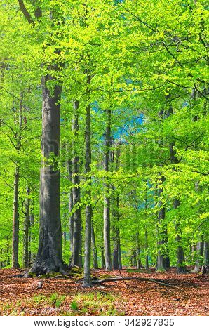 Beech Trees With Green Leaves On Branches In Slavkov Thick Dense Foliage Forest Wood Near Karlovy Va