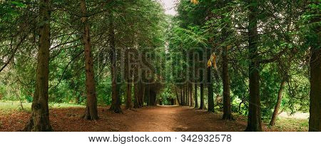 Walkway Lane Path Through Green Thuja Trees In Coniferous Forest. Beautiful Alley, Road In Park. Pat