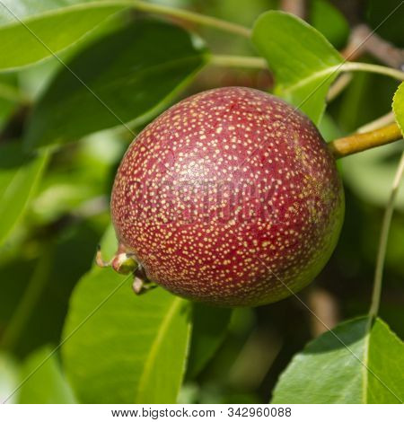 Round Red Dots Pear In Summer On A Tree. Pyrus