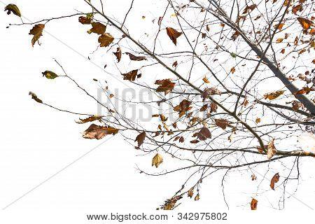 Maple Tree Isolated On A Whiteb Ackground.