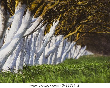 Whitewashed Tree Trunks Along The Road. Apricots Along The Route With A Green Meadow And Whitewashed