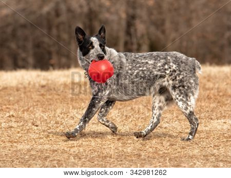 Spotted black and white Texas Heeler dog running with a red ball, looking back as she runs