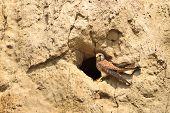 Common Kestrel (falco tinnunculus) on the nest poster