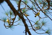 Four Fledgling Scissor-tailed Flycatchers (Tyrannus forficatus) perched in pine tree with blue sky background. poster