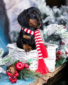 Puppy dachshund; New Year's puppy; Christmas dog;