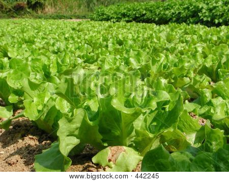 Field Of Leafy Vegetables