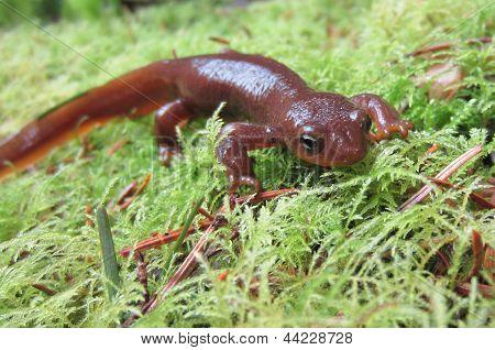 Male Rough-skinned Newt