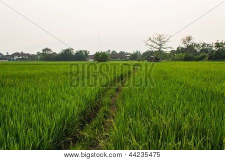 Ridge And Rice Field In Thailand
