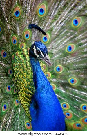 Colorful Peacock Close-up