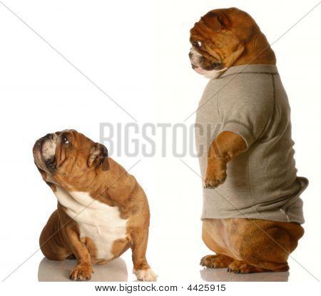 Bulldog Arguing With A Parent