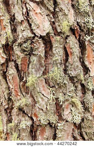 Pine Bark resinero, Corsican pine. Pinus pinaster.