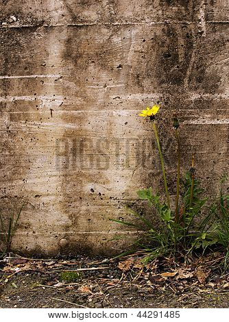 Nature Triumphs Over Adversity - Dandelion By Old Wall,  Taraxacum Officinale