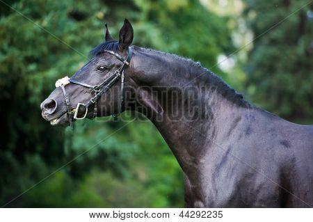 stallion - breeder horse on green background