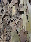 close-up of tree bark that is cracking off and leaving interesting texture. poster