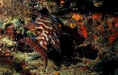 Hogfish lachnolaimus maximus being cleaned by neon gobies in beautiful underwater seascape poster
