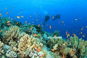 Two Scuba Divers diving over coral reef poster