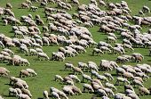 Herd of sheep on green meadow in summer poster