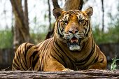 Bengal tiger in  the mood to relax and hang out. poster