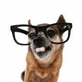 a chihuahua with glasses on and buck teeth poster