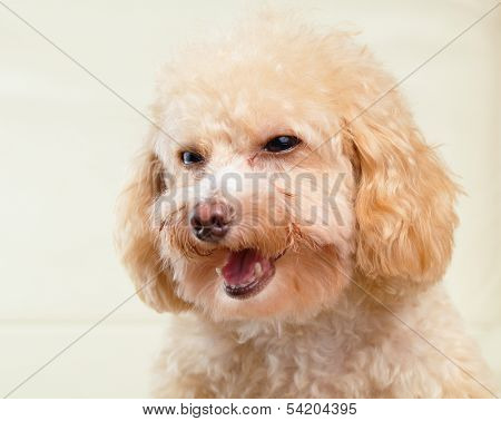 Dog poodle smile