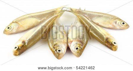 Mola Fish Of Southeast Asia