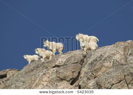 Mountain Goat Gang