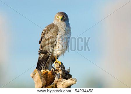 Northern Harrier, Marsh Hawk, Male