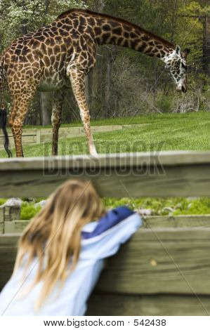 young girl spying a giraffe through a fence poster