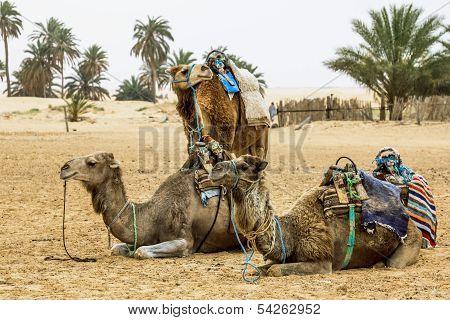 Camels In The Sahara Desert, Tunisia, Africa