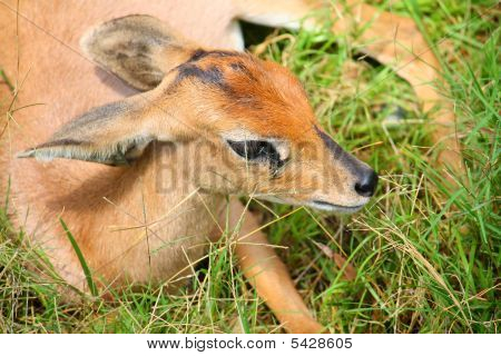 A newborn fawn laying down in grass poster