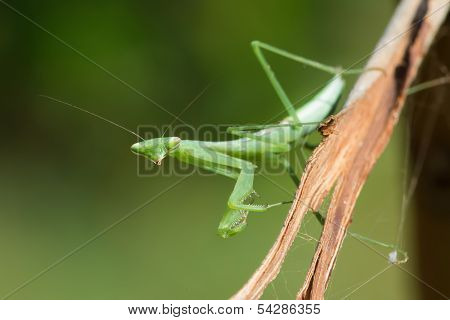 Praying Mantis From West Africa