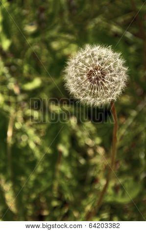 Closeup of dandelion seed puff ball