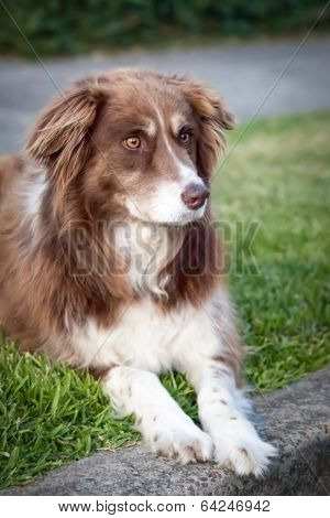 Chocolate Border Collie Lying on Grass