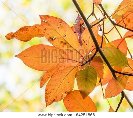 Cluster Of Rain Damaged Orange And Yellow Autumn Leaves