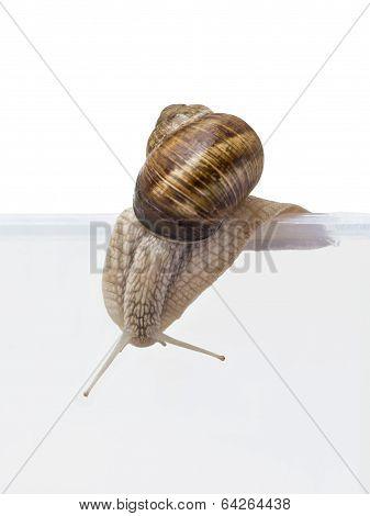 Escape! Burgundy snail going out of a transparent vivarium (isolated)