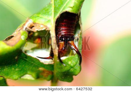 The Earwig In The Leaf