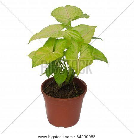 Houseplant Syngonium Isolated On White Background