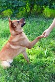 Funny cute dog pressing his paw against woman hand, outdoors poster