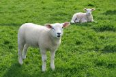 Little lambs grazing in a field in early spring poster