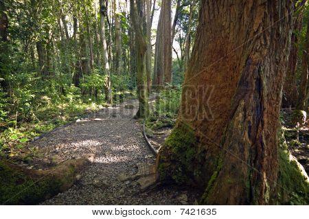 Hawaiian Forest Path