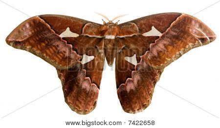 Oriziba silkmoth on white background with clipping path poster