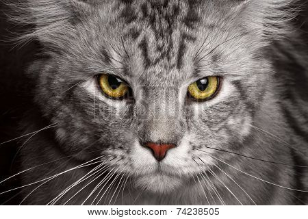 close-up silver Maine Coon