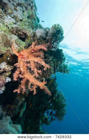 Vibrant and colourful Soft Broccoli coral (dendronephthya hemprichi) poster