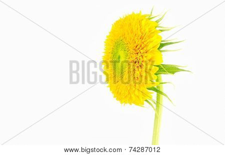 Sunflower With Sepals