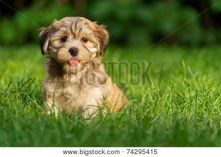 Happy Little Havanese Puppy Dog Is Sitting In The Grass